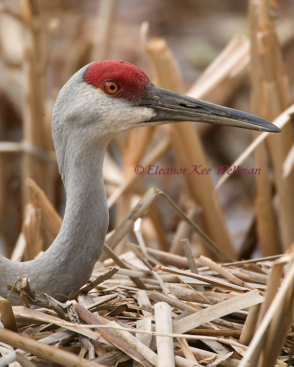 Sandhill Crane, Portrait on Nest - 176163