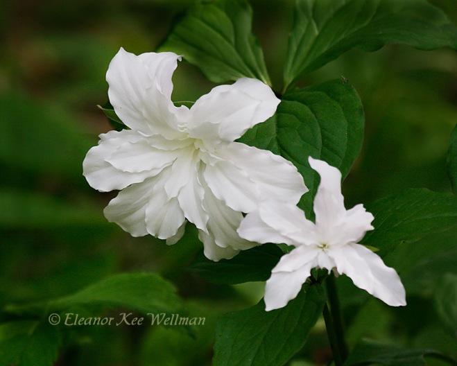 TrilliumgrandifloraJBTwo178333