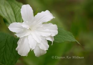 TrilliumGrandifloraJoanBrownOne178303