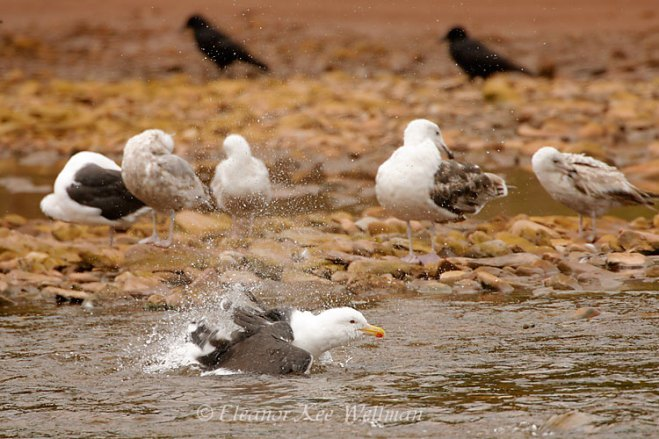 MixedGullsBathing180064