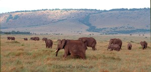 ElephantsSavannah