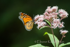 MonarchJPWFlutteringBlur508738